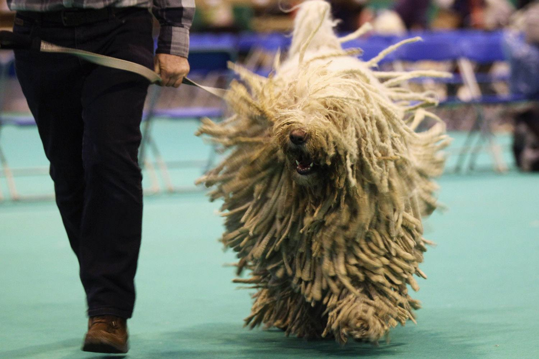 happy komondor running at a dog show