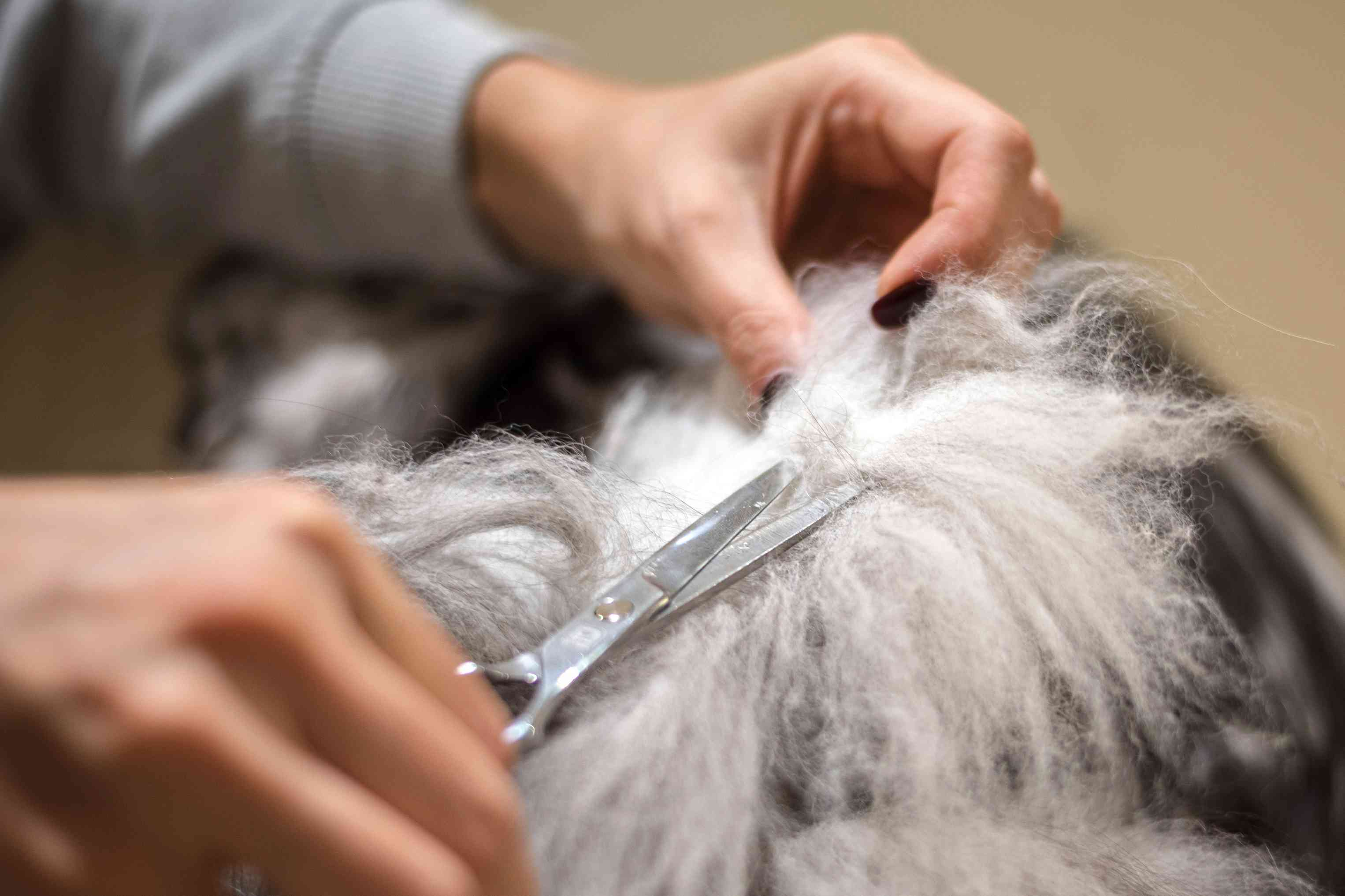 Matted fur from cat being cut with scissors closeup