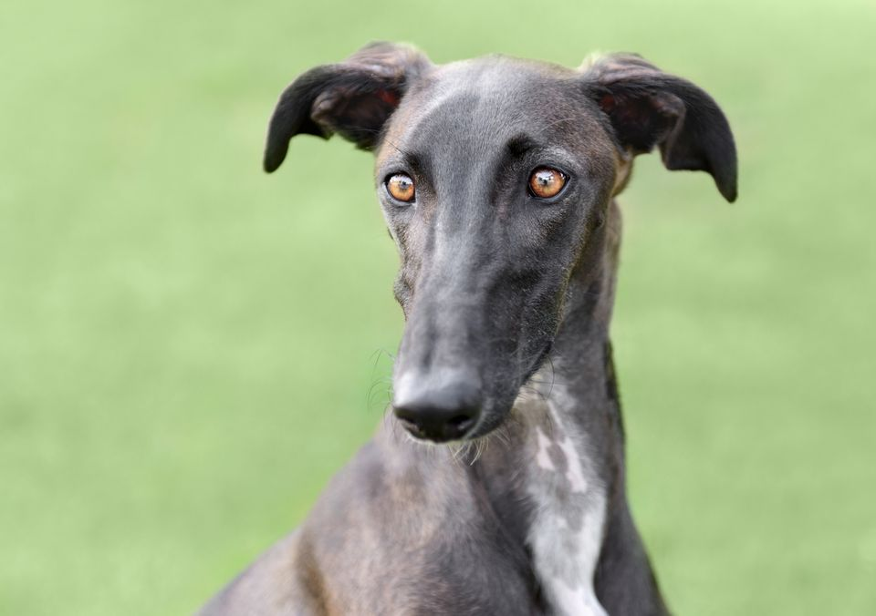 Black Profile Shot of a Spanish Galgo