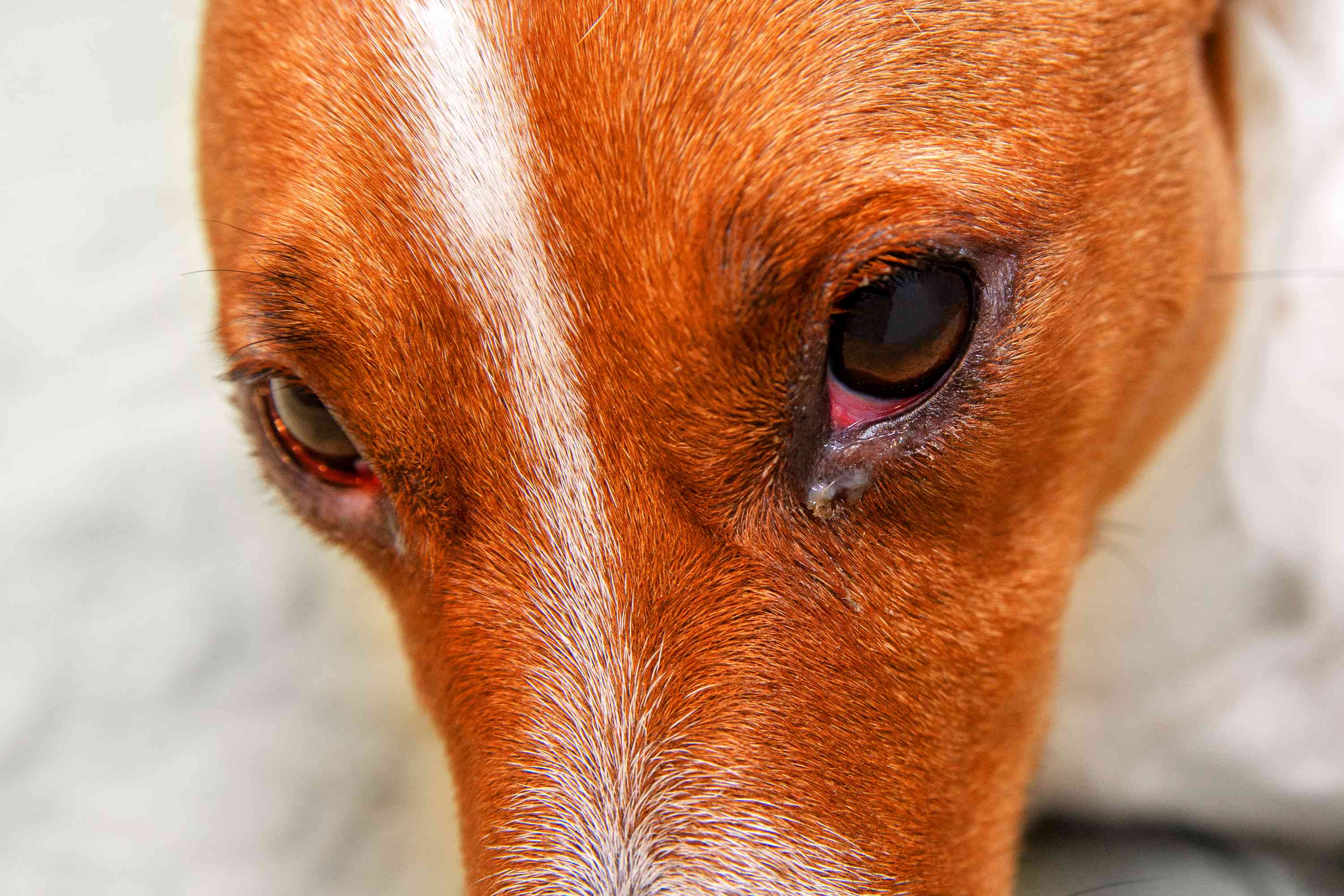 Close-up of dog face with clear/white eye boogers.