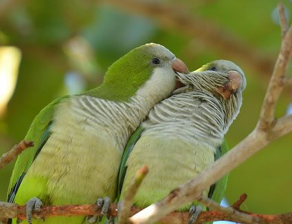 Pair of Quaker parrots in a tree