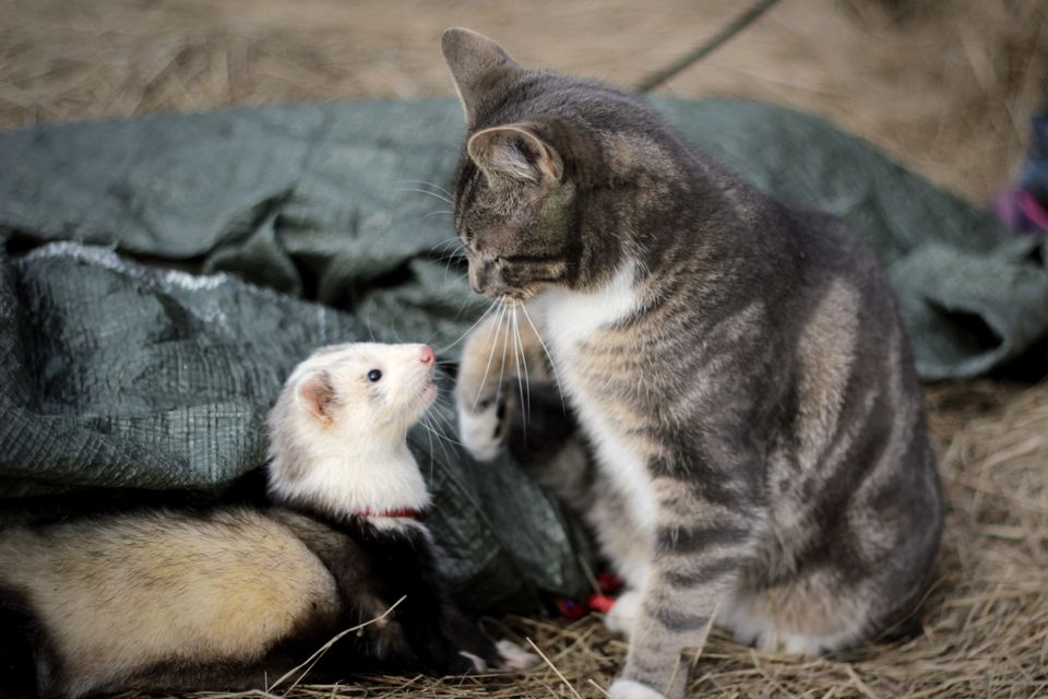Cat Playing With Ferret