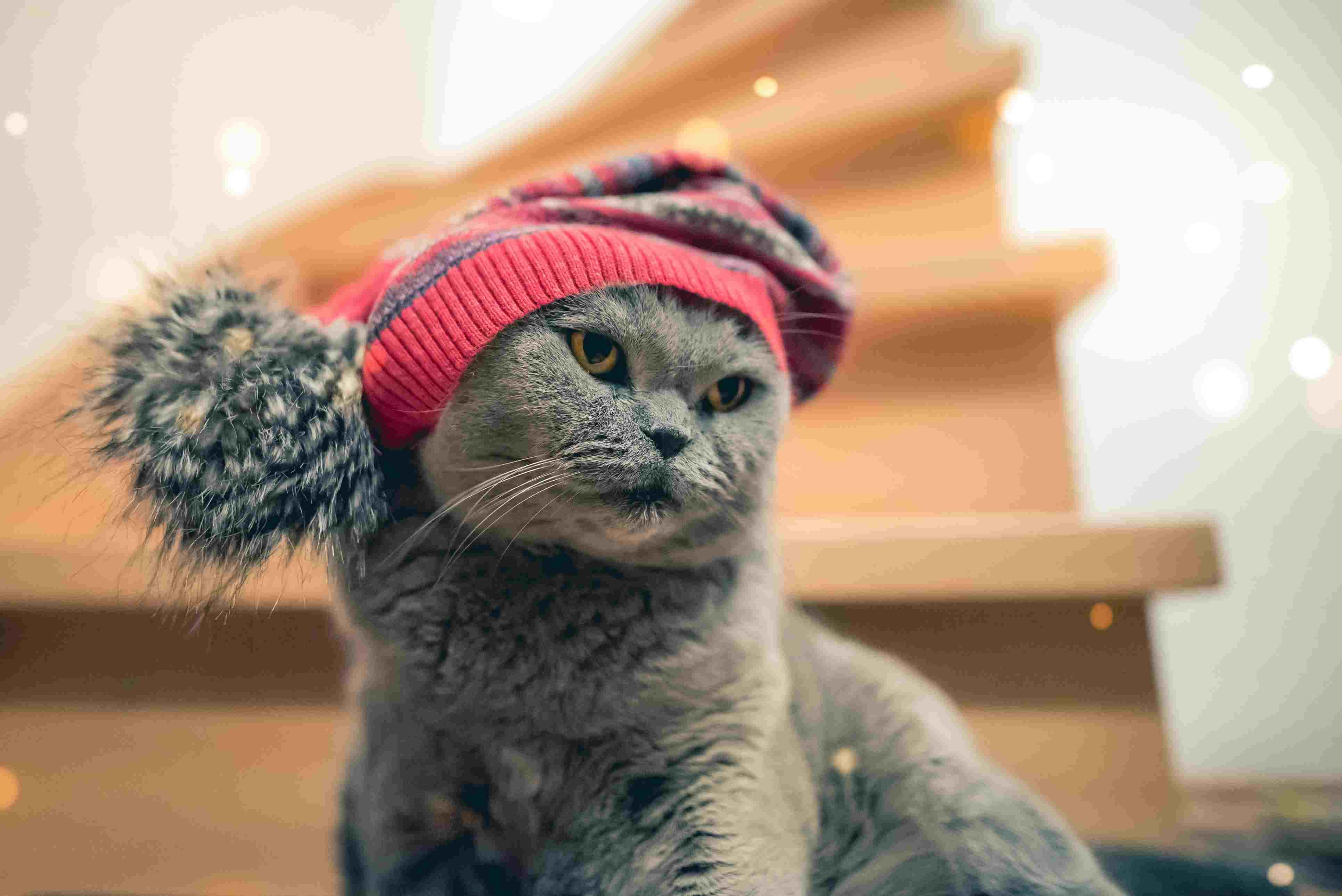 Cat wearing stocking hat