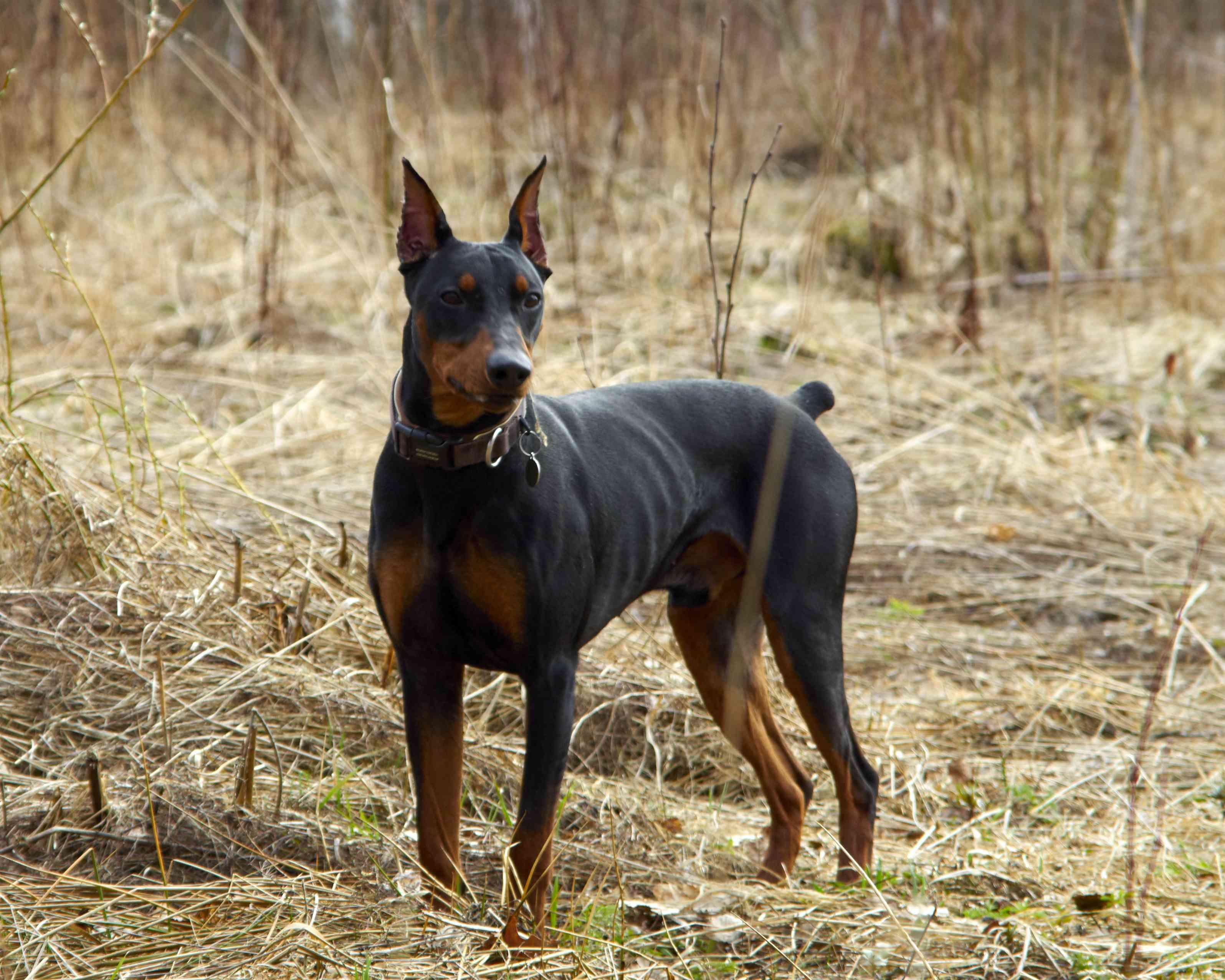 German pinscher standing in the woods