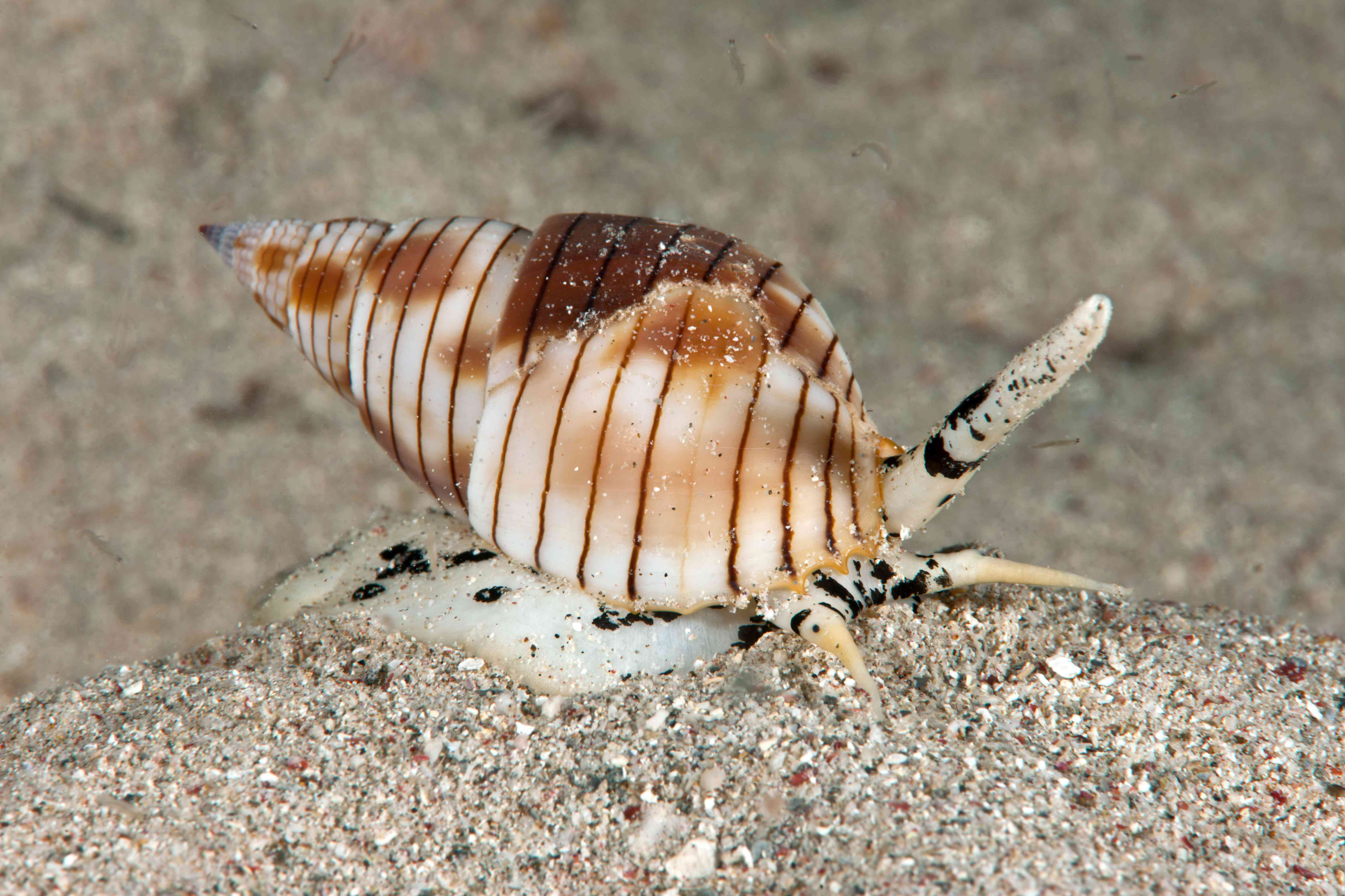 The dog whelk or mud snail, from the nassarius family of sand sifting snails