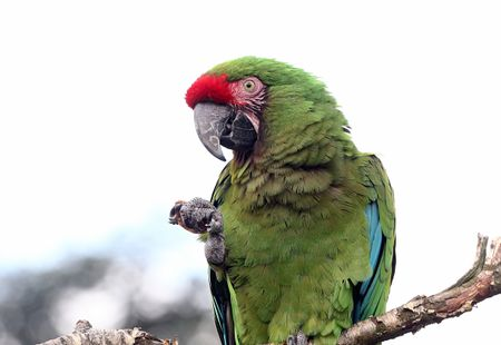 Parrot Diet and Nutrition Basics