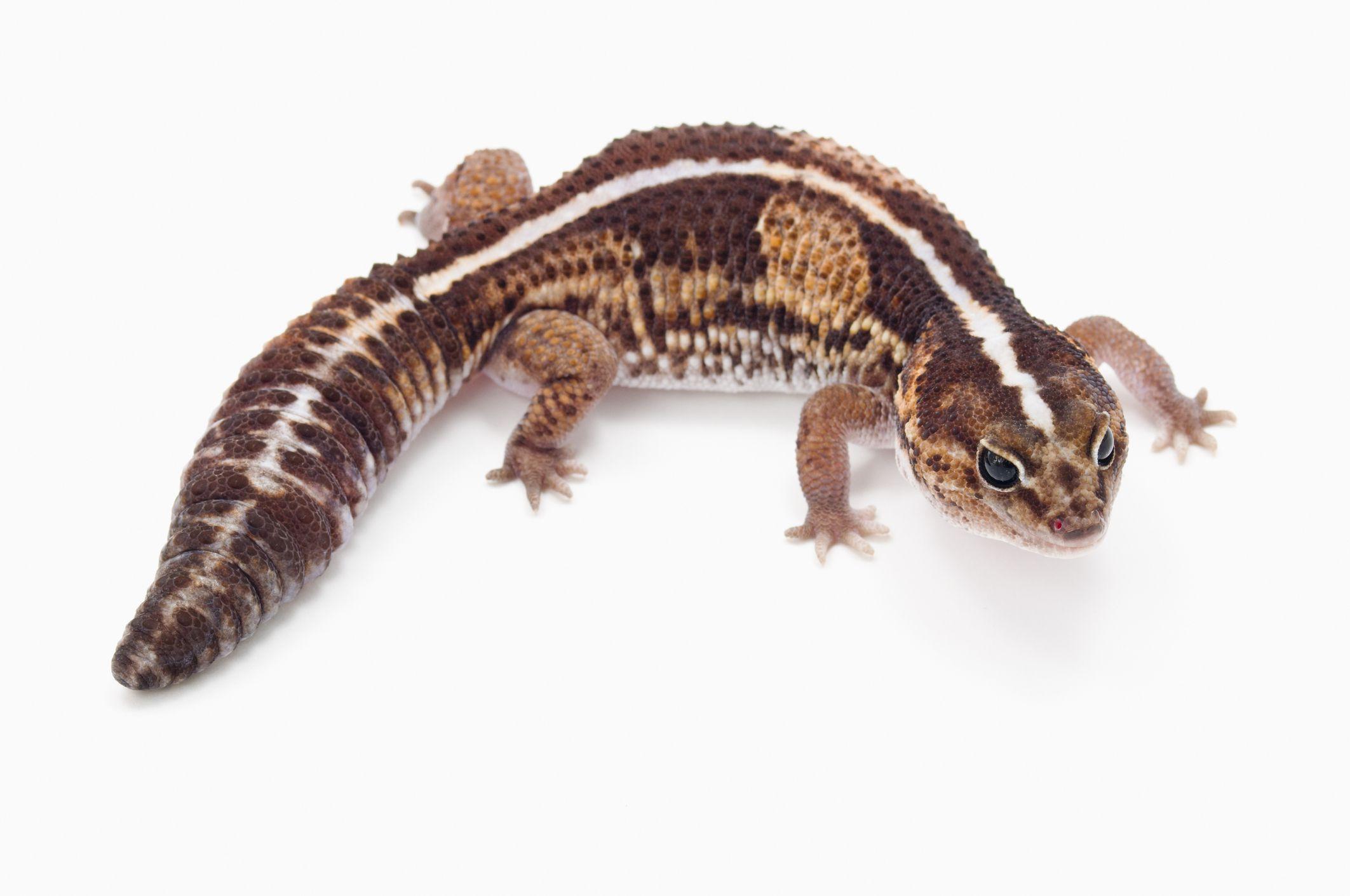 Gecko de cola gorda africana