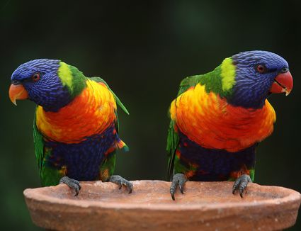 Rainbow lorikeets on a platform