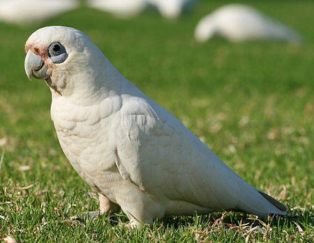 Bare-Eyed Cockatoo Bird Species Profile