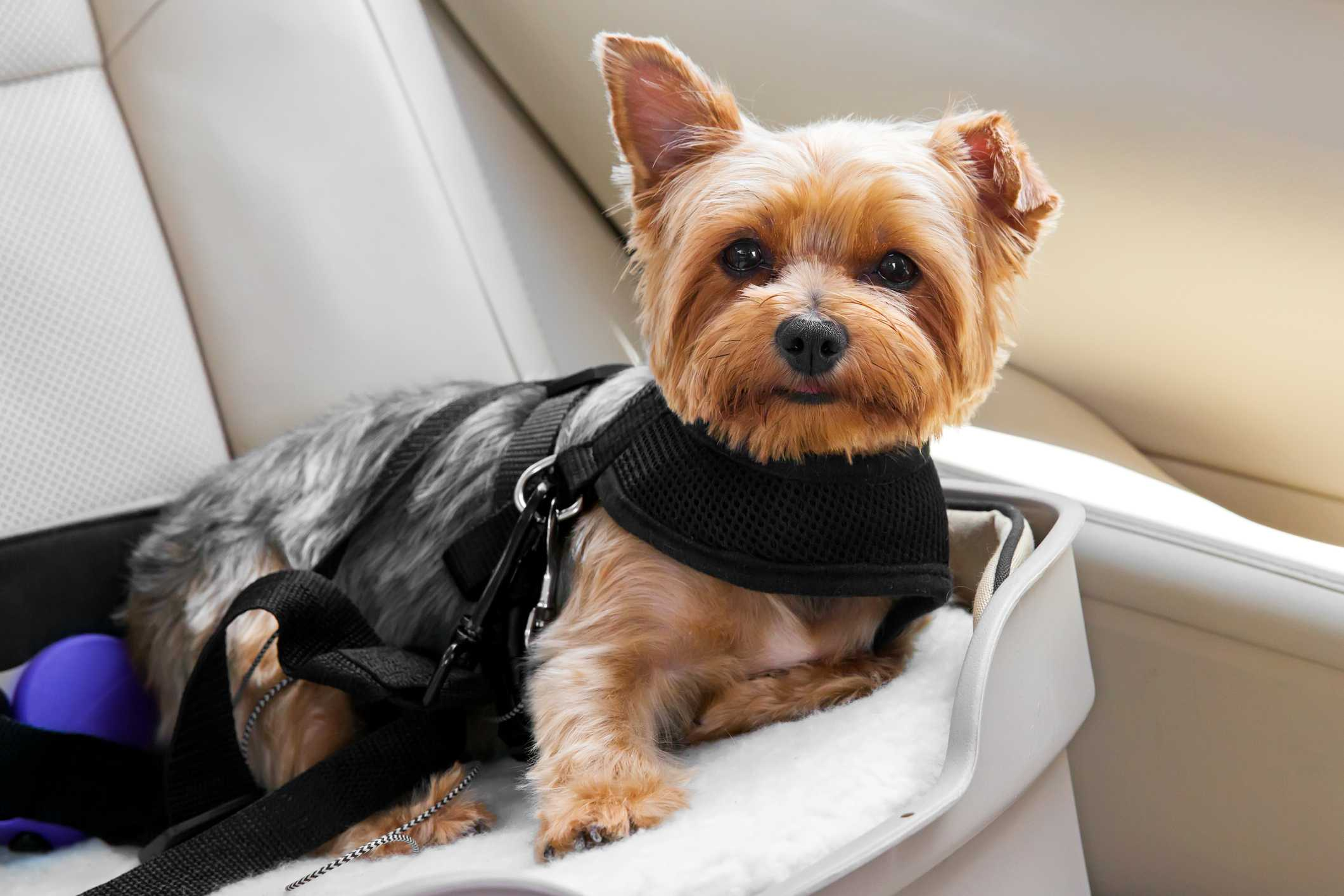 Dog in a car seat.