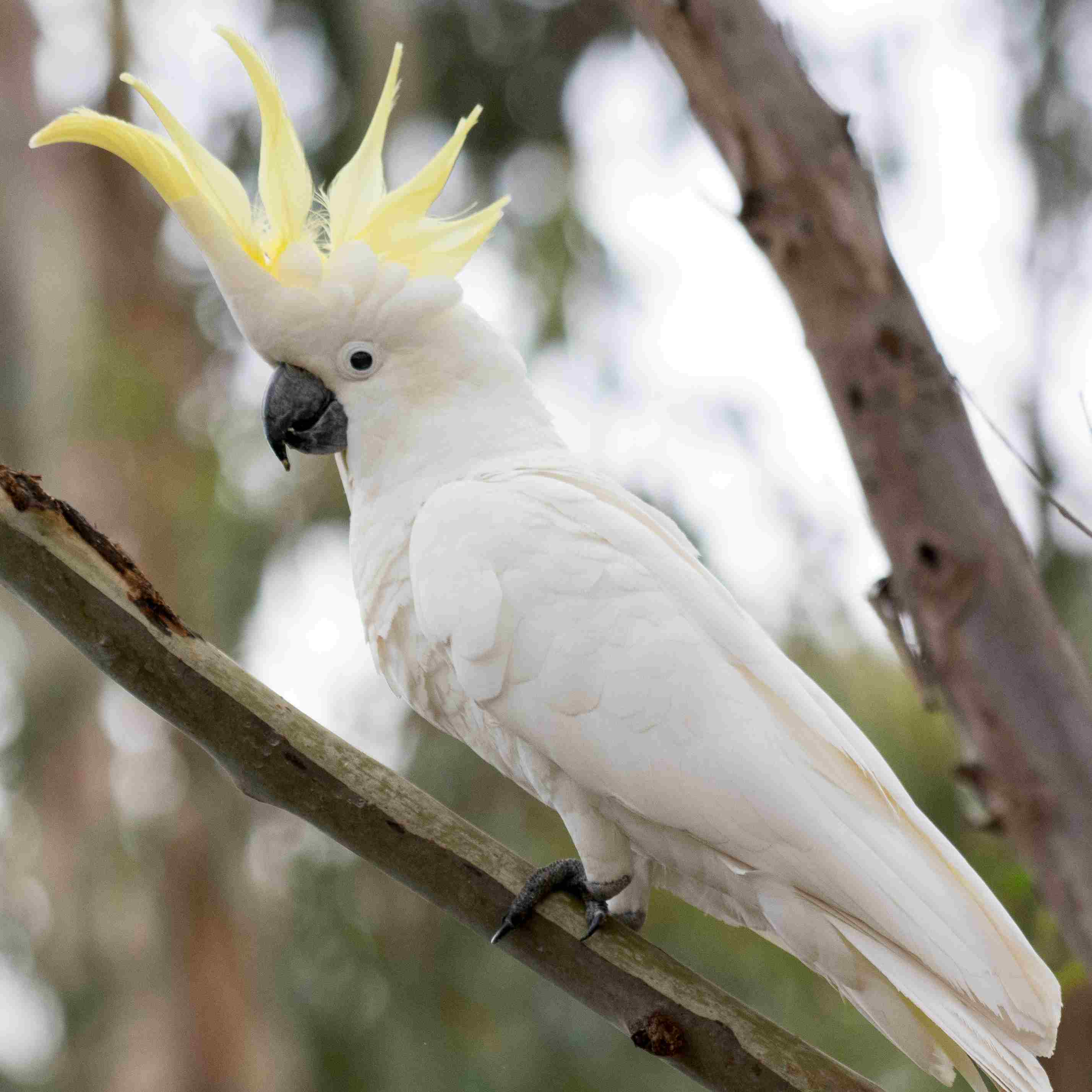 sulphur-crested cockatoo in a tree