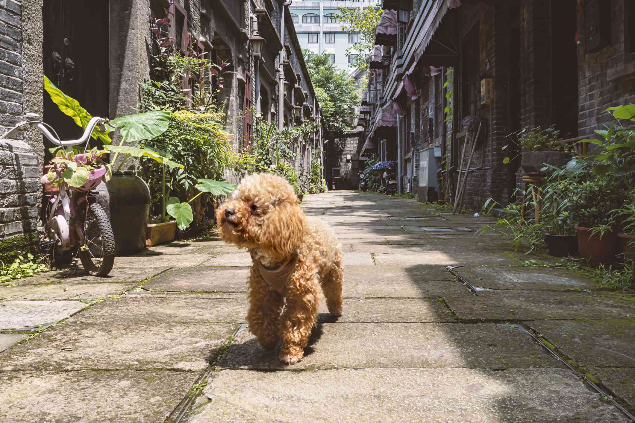 A golden dog with curly hair walking through an alley with plants.