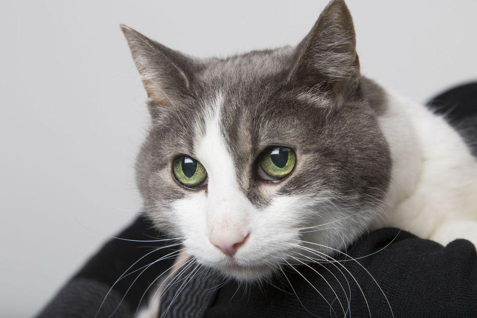Gato doméstico de pelo corto encaramado en el hombro de su dueño
