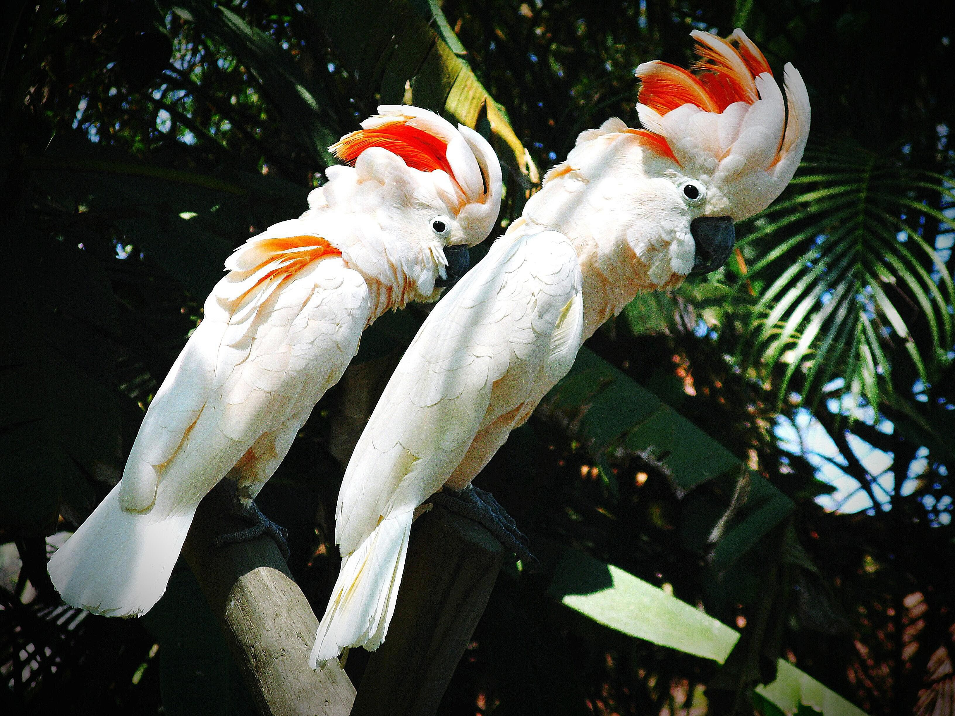 Moluccan cockatoo pair perching in a tree