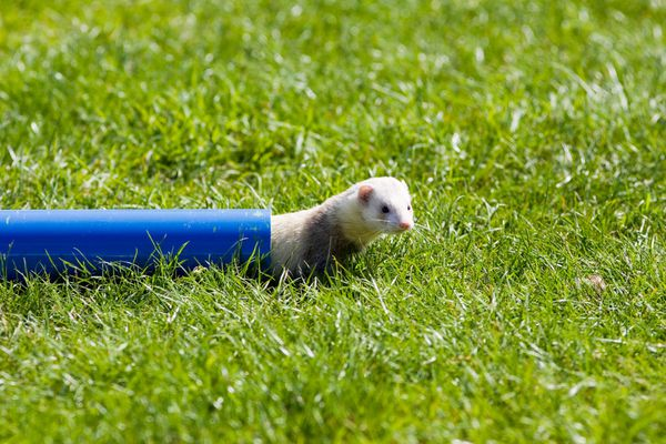 Ferret outside playing in a blue tube.