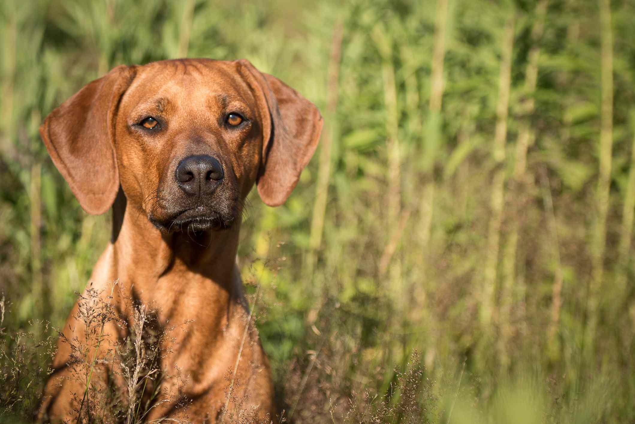 Rhodesian Ridgeback en hierba;  Nombres de perros africanos