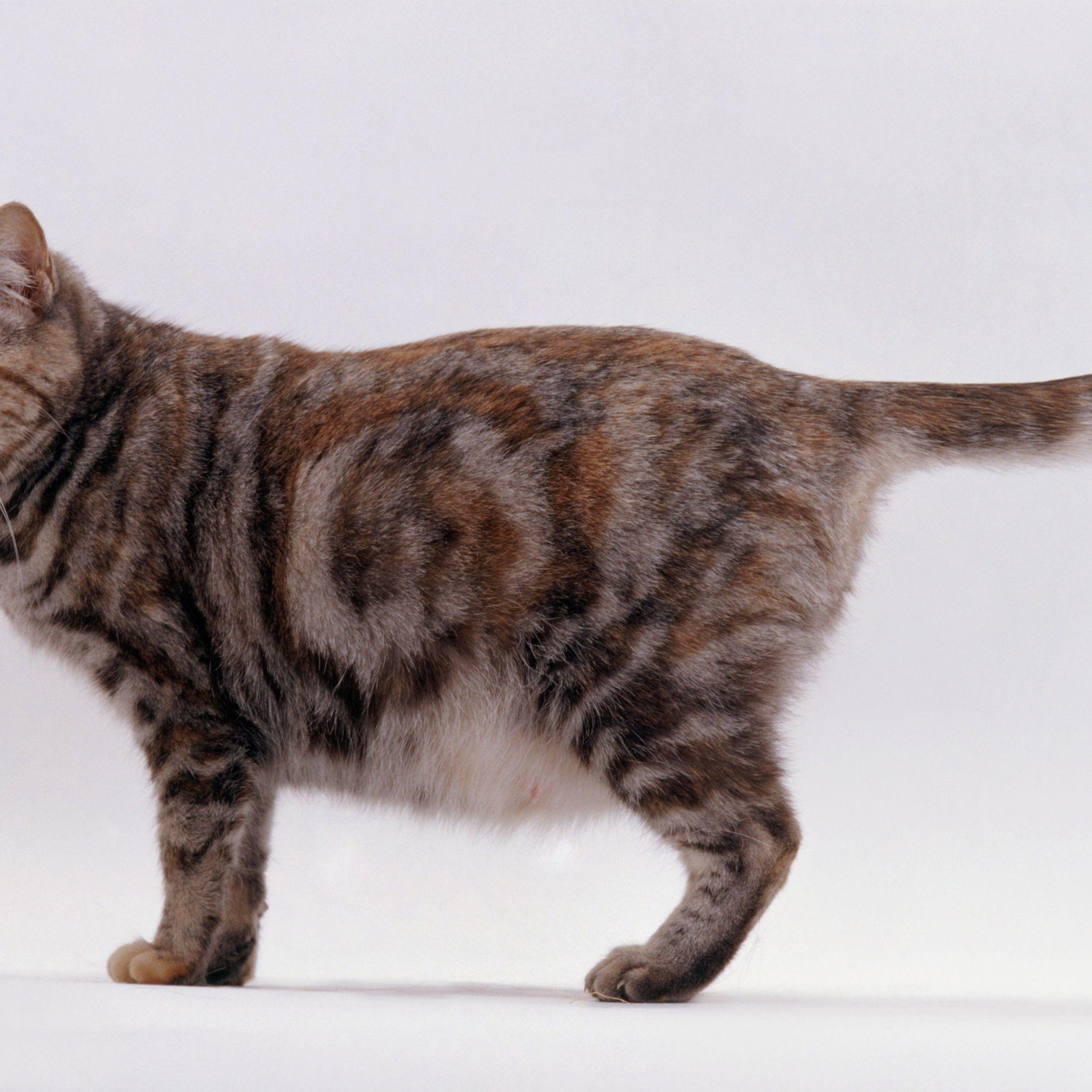 Cat Small indefinite quantity When Pregnancy