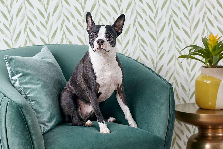 Black and white Boston Terrier dog sitting on green velvet chair