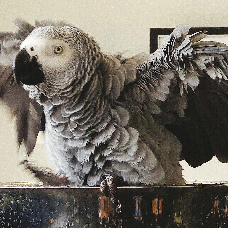 African Grey Parrot Bird Species Profile