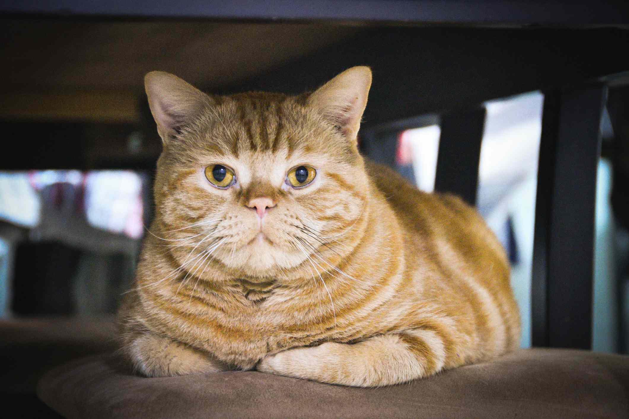 American wirehair cat lying down