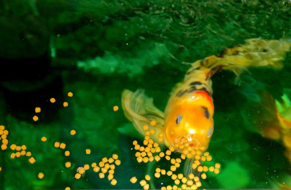 Pez Koi comiendo en un acuario