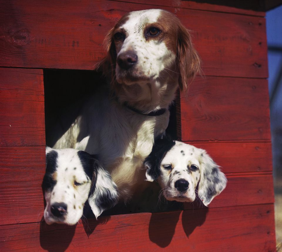 Three dogs poking their heads out of a red doghouse.