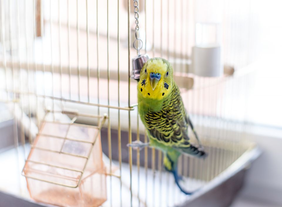 Pet bird in a bird cage