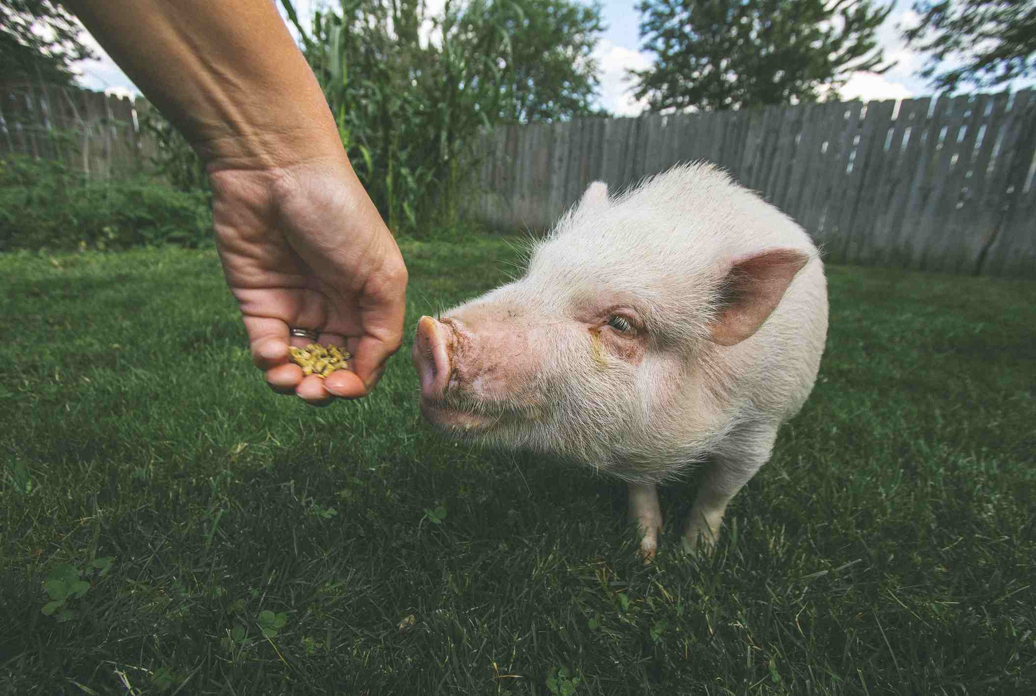 Pig taking food from a hand outside in grass.