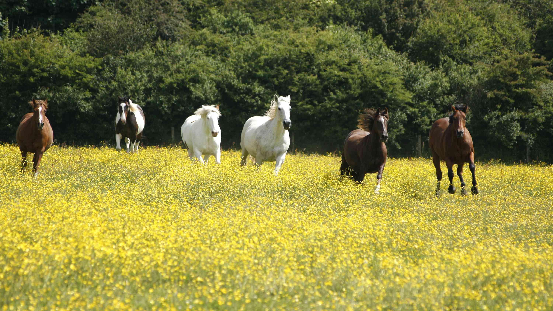 Manada de Paso Finos en un campo de flores amarillas.