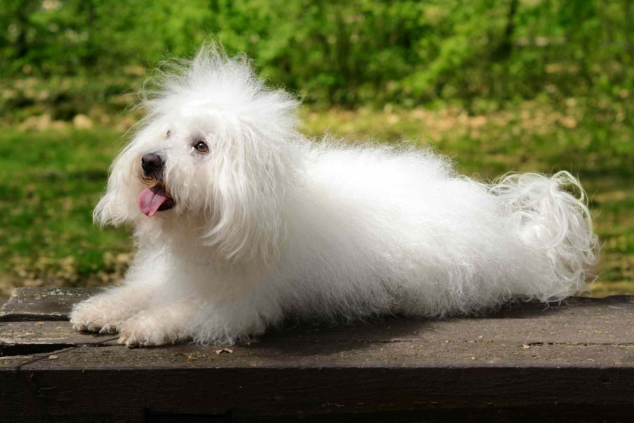 Perro boloñés afuera , Dogo Argentino