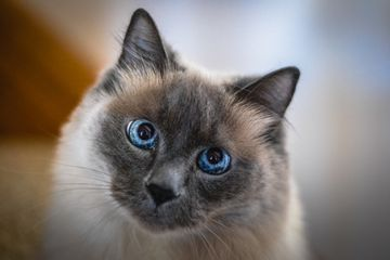 A Siamese cat looking into the camera.