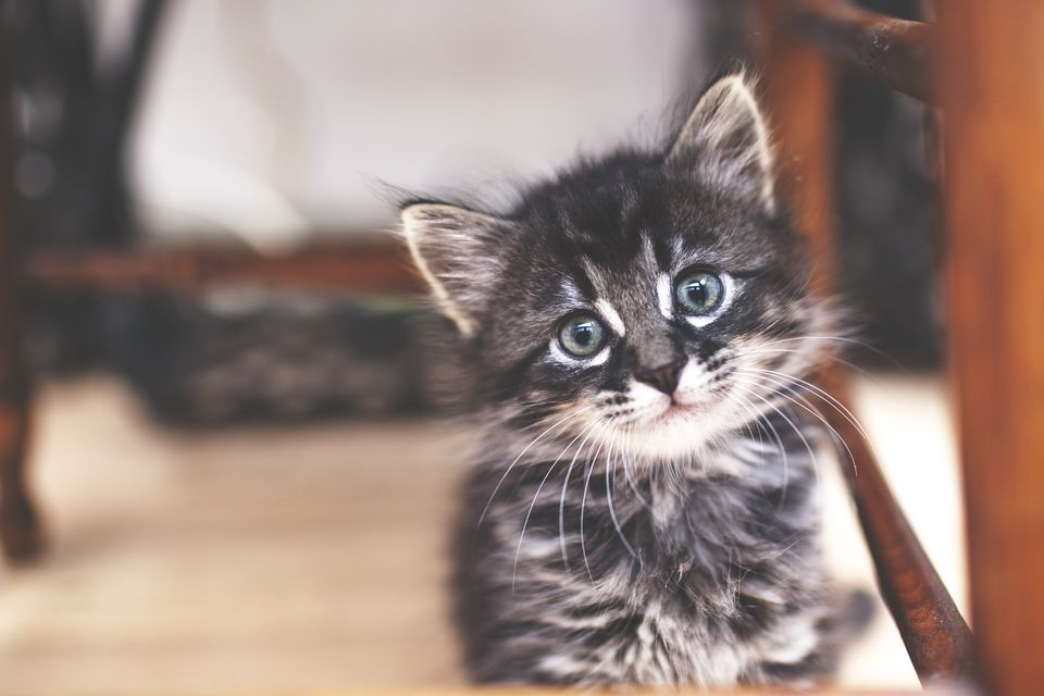 Kitten looking at camera