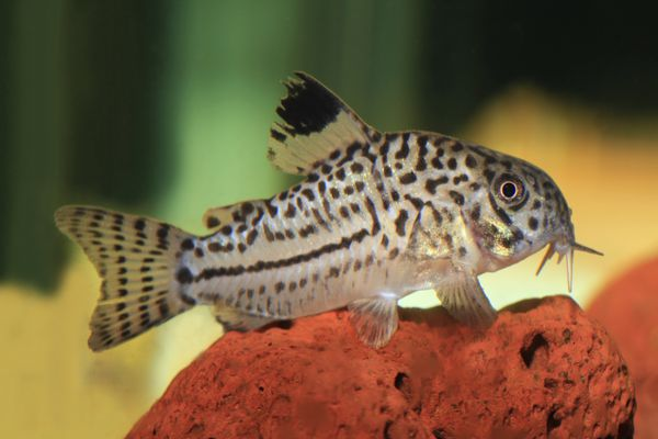 Three- Lined Catfish, Resting on Lava Rock in Aquarium
