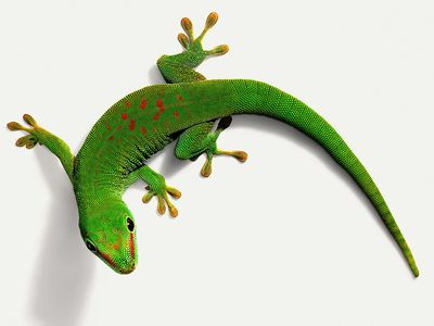 A Guide To Caring For Pet White Lined Geckos