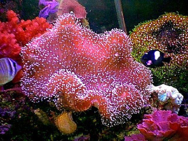 Coral de cuero rosa