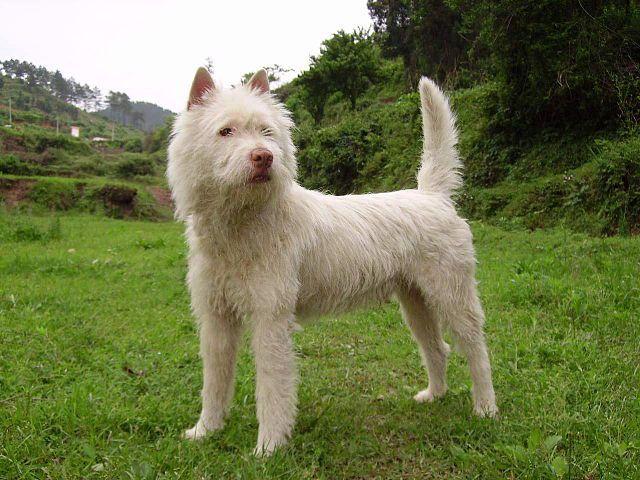 A Xiasi Quan dog outdoors