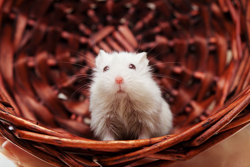 White mouse in basket