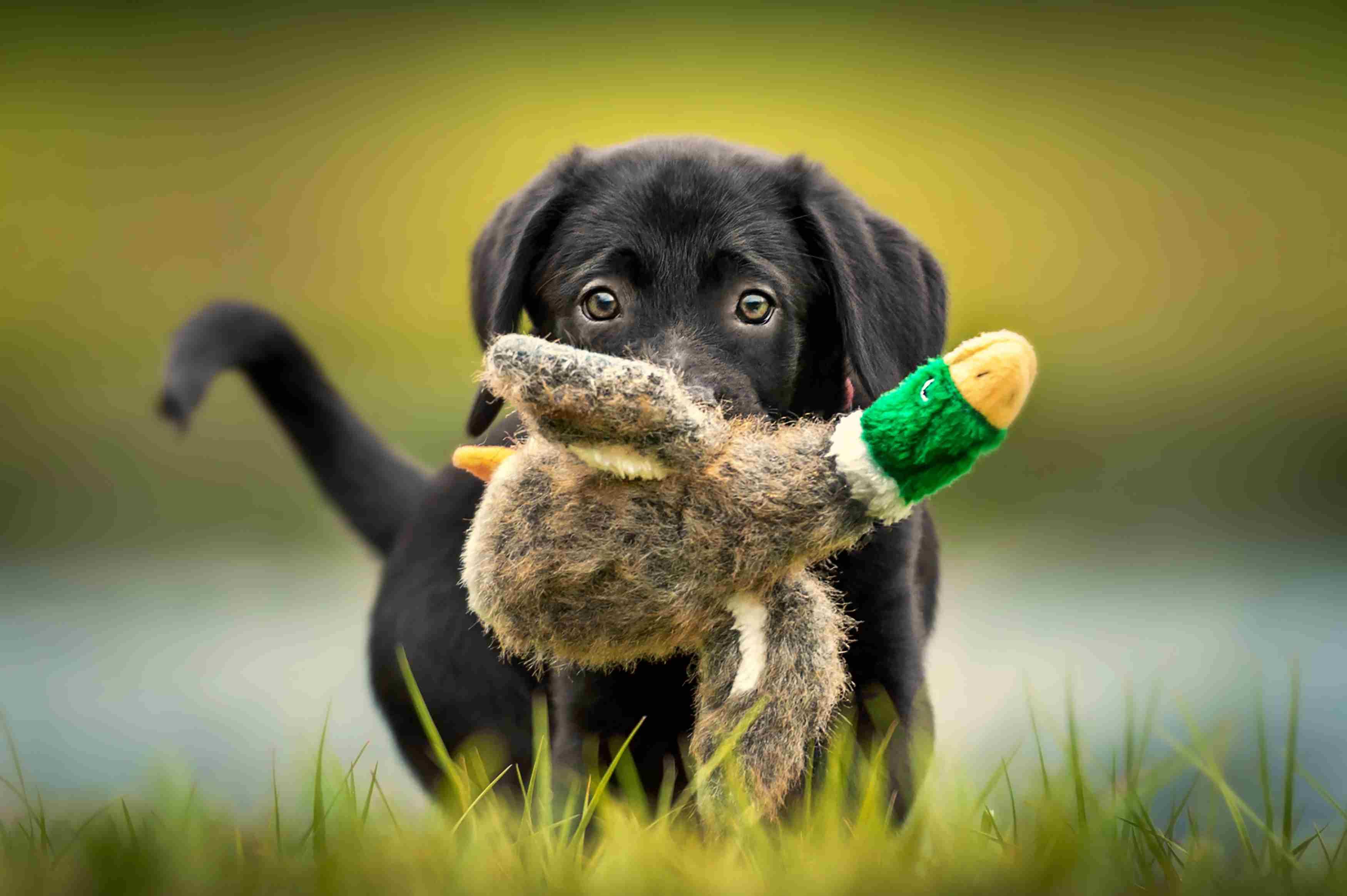 Labrador negro cachorro jugando