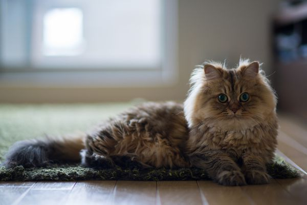Brown persian cat laying on edge of green carpet