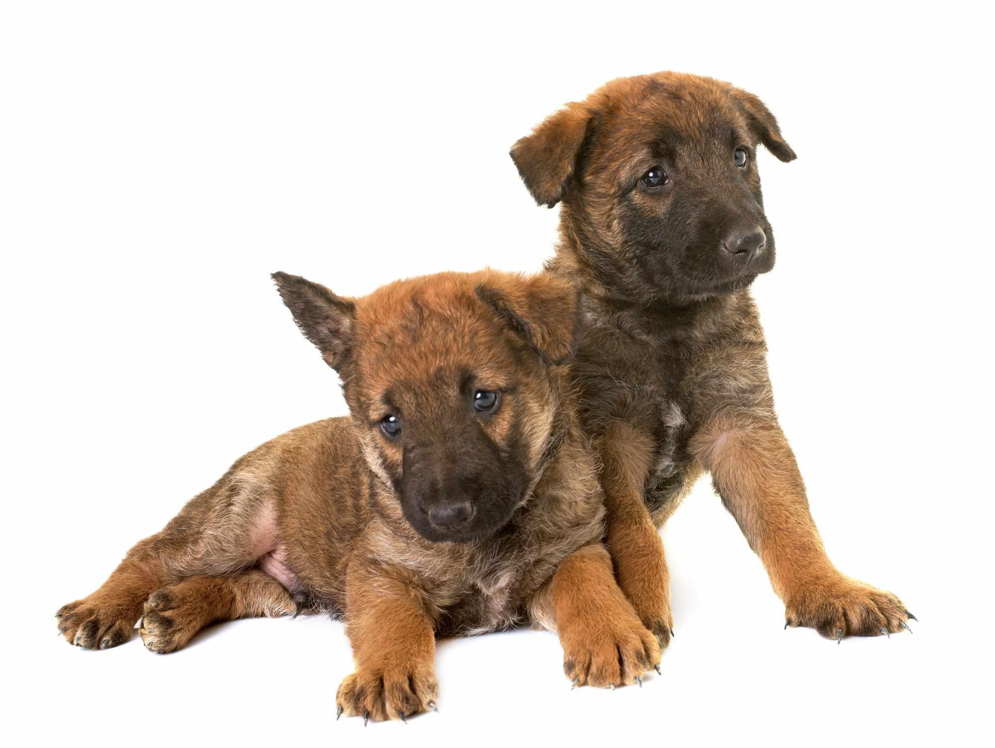 Laekenois puppies on white background