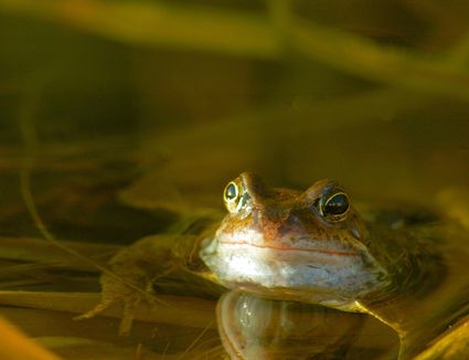 Close-up of frog in a pond