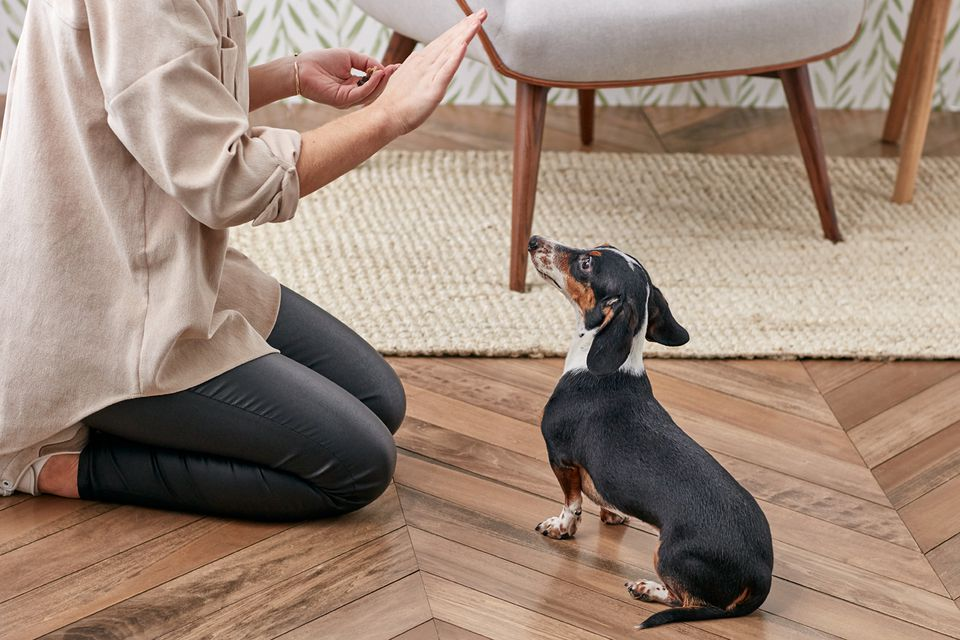 Training a dachshund to stay