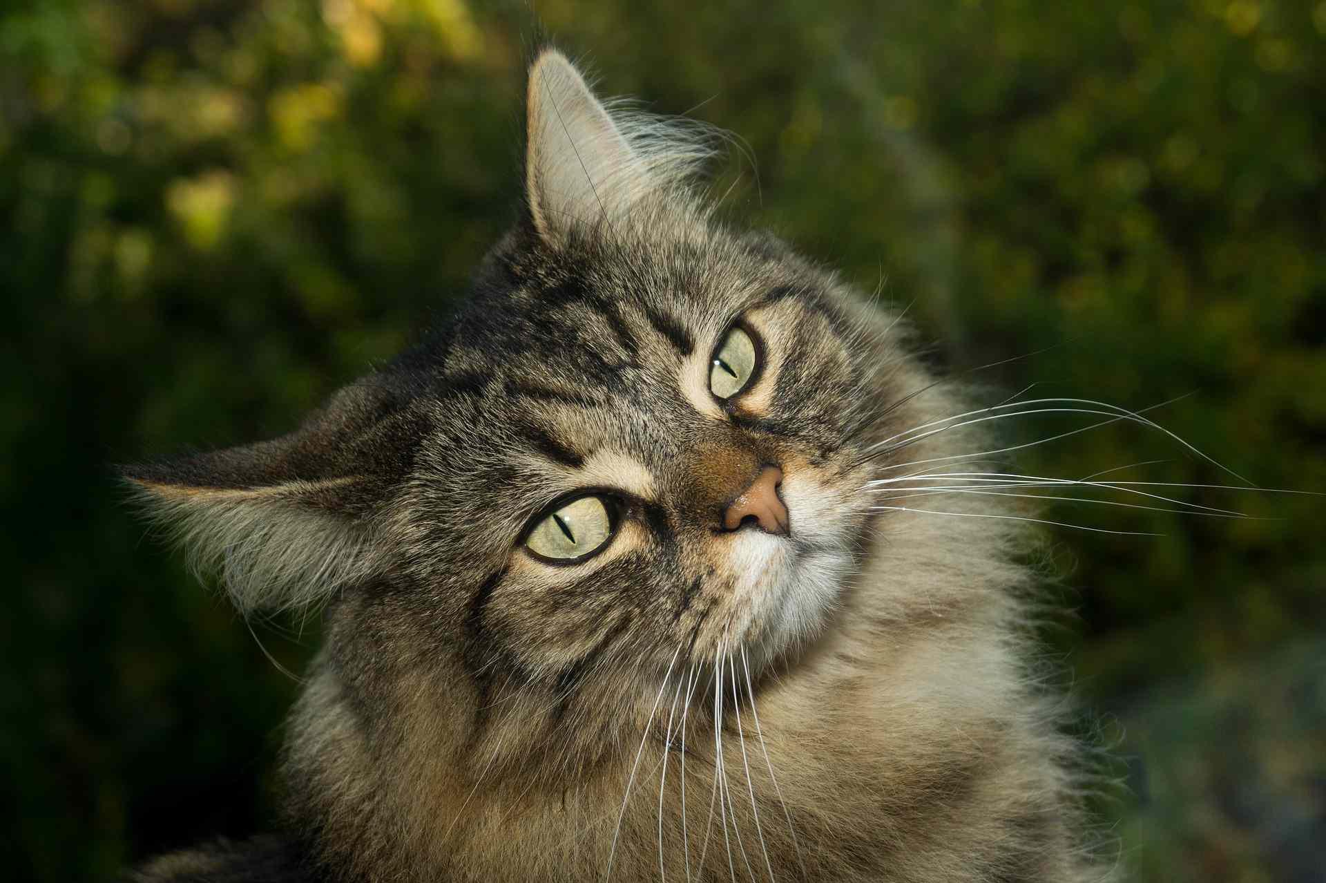 A Norwegian Forest cat outdoors.