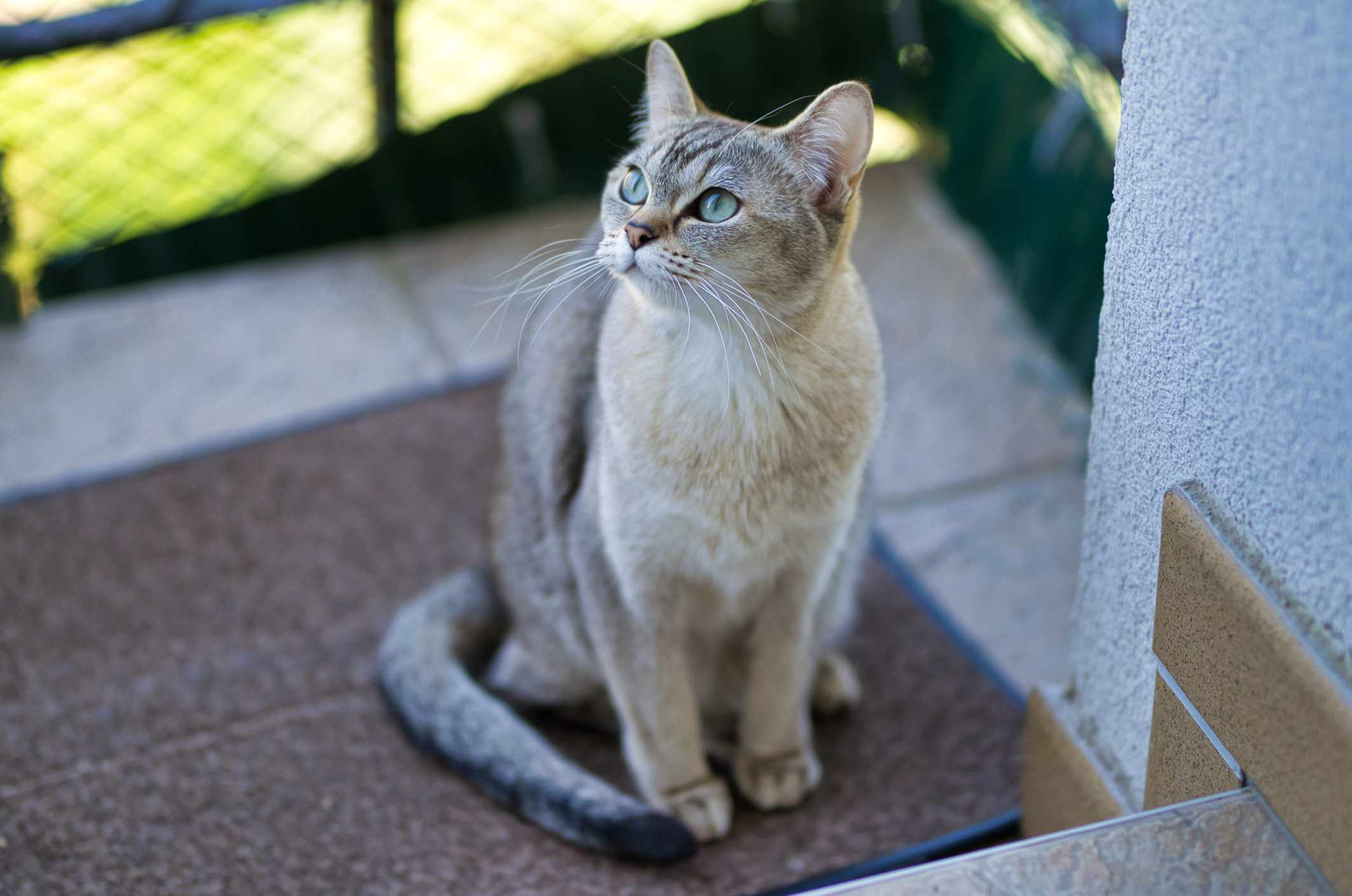 Burmilla cat sitting on floor mat