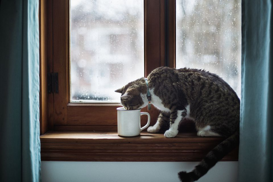 Tabby cat drinking in a cup by a window