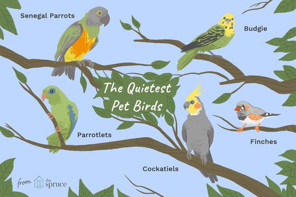 Illustration of the quietest pet bird species.