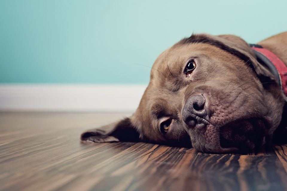 A Brown Dog Lying on the Floor With a Blue Wall