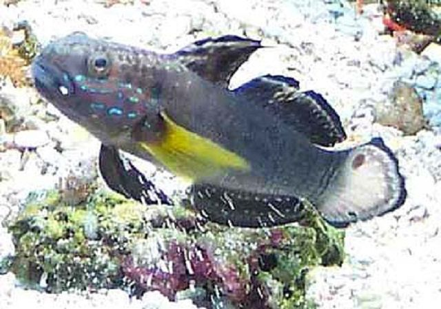 Sleeper Banded Goby