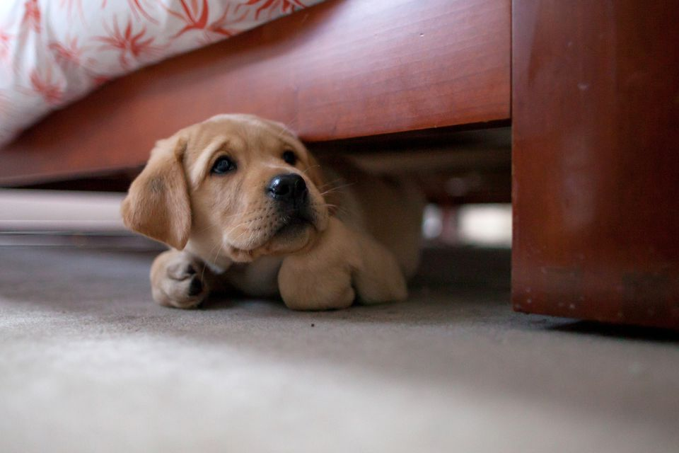 Puppy hiding under bed