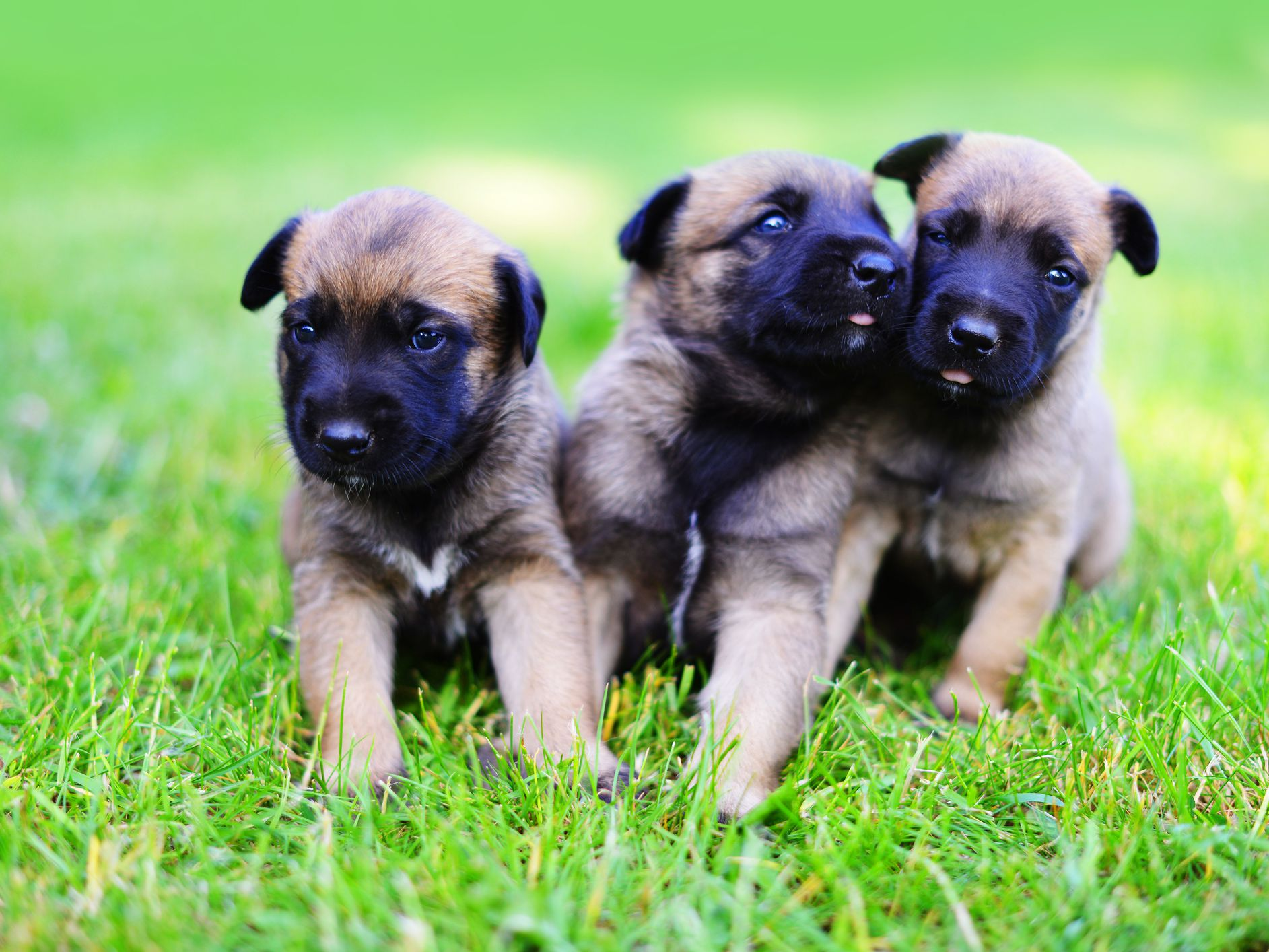 55 Best Images Malinois Puppies For Sale Near Me ...